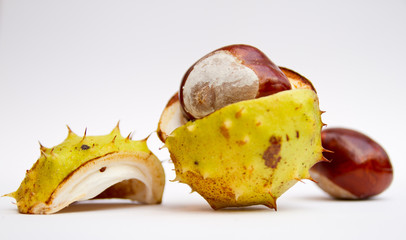 Autumn conker in seed case