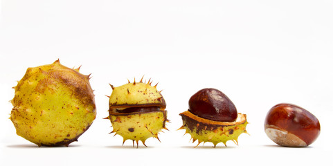 Autumn conker stages of release