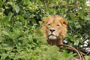 Male lion in canopy, Ngorongoro, Tanzania