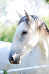 Portrait de cheval gris