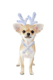 Christmas chihuahua puppy - reindeer isolated on white