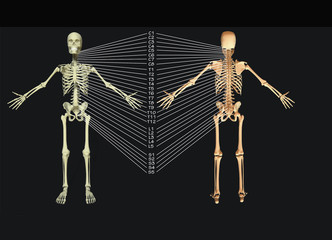 skeleton model featuring spine