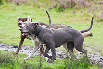 Three happy dogs playing together
