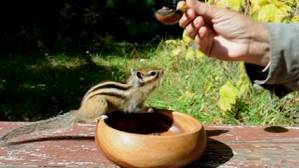 Бурундук (chipmunk) бегает за едой как собачонка