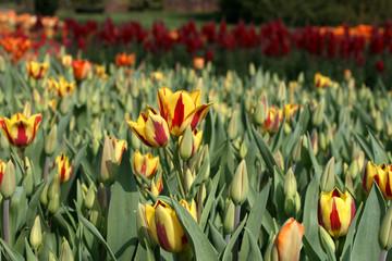 Tulips in a spring garden