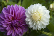 Ping and white dahlias