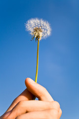 Dandelion in woman's hand