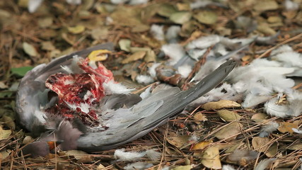 hawk-killed pigeon close up