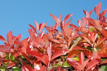 pianta di photinia per recinzione