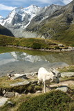 bílý osel na ledovcové jezero ve švýcarských alpách