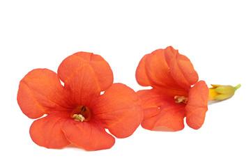 Rote Klettertrompetenblume