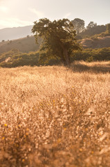 Idyllic meadow and oak tree in a Central California