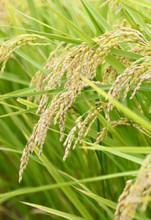 稲 Fringe