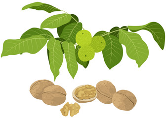 Walnut branch with leaves and nuts