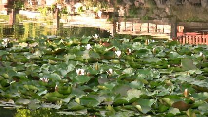 Water lilies in beatiful pond