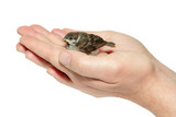 sparrow chick baby yellow-beaked in male hands isolated on white poster