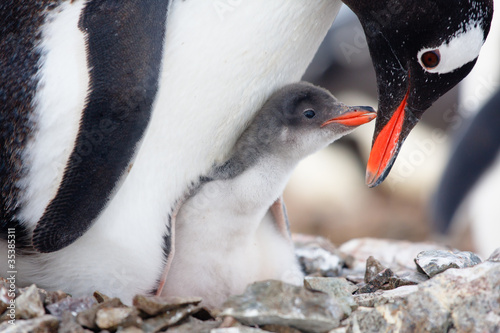 In de dag Antarctica penguins nest