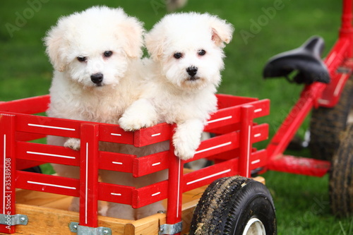 Two Bichon Frise Puppies in Wagon