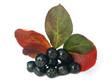 black chokeberry (aronia) in autumn