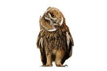 """Постер, картина, фотообои """"owl isolated on white background"""""""