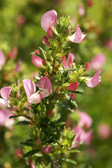 Spiny restharrow, Ononis spinosa