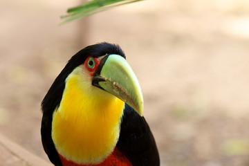 Toucan, Iguazu Falls