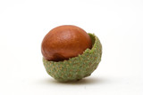 Conker in Acorn Shell