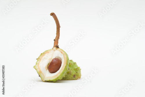 Conker in open shell isolated on white background