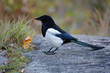 Young magpie in the autumn overcast day