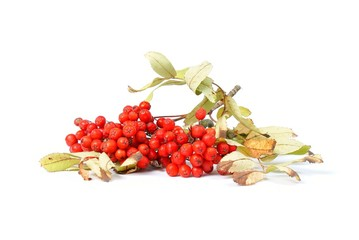 Branch of rowan berries
