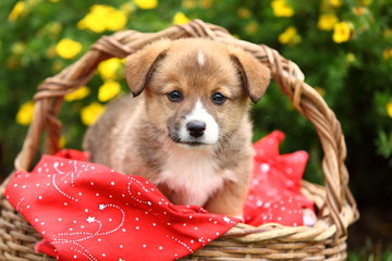 Welsh Corgi Standing in Basket