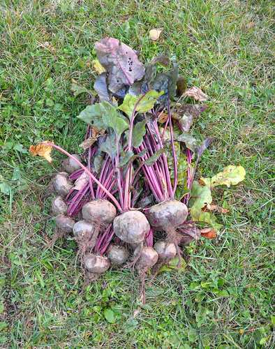 Beet fruits on a grass