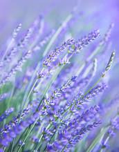 Lavender kwiat pola