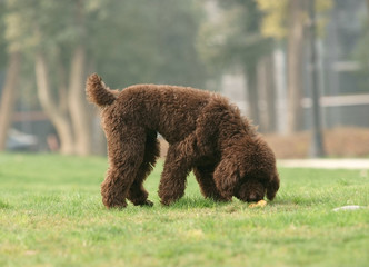 Toy poodle was looking for something