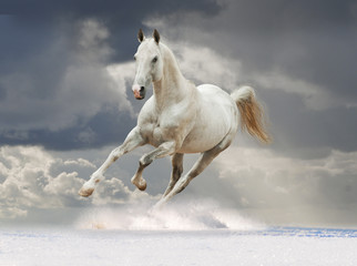 Akhal-teke horse running in the snow