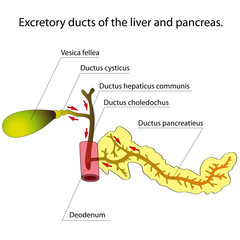 Ducts of the liver and pancreas