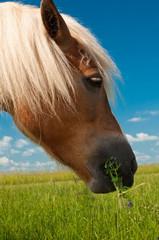 Głowa konia pasącego się na łące