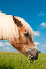 Głowa konia pasącego się na łące rzującego trawę