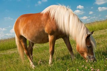 Kasztanowy koń pasący się na łące