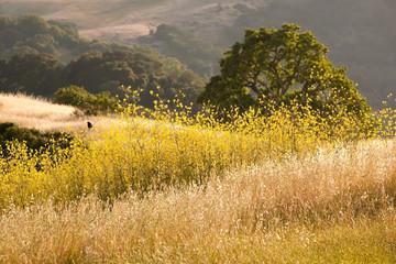 Black bird in field of mustard flowers in California in summer