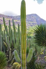 Kaktus groß