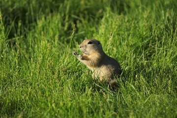 Gopher squeaking