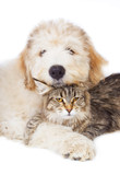 Cat of breed Maine coon and a puppy