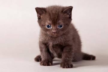 Brown kitten on grey background