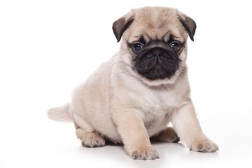 Pug puppy on white background