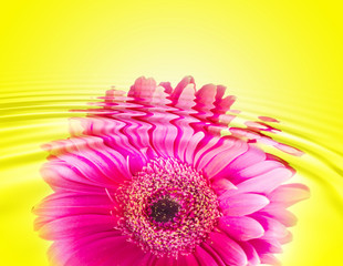 daisy-gerbera with waterdrops