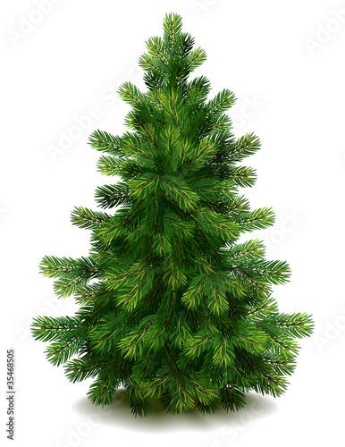 Fototapeta Pine tree
