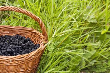 Panier de mûres dans l'herbe