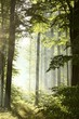 Sunlight enters deciduous forest on a misty morning after rain