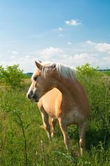 Kasztanowy koń zarzucający grzywę